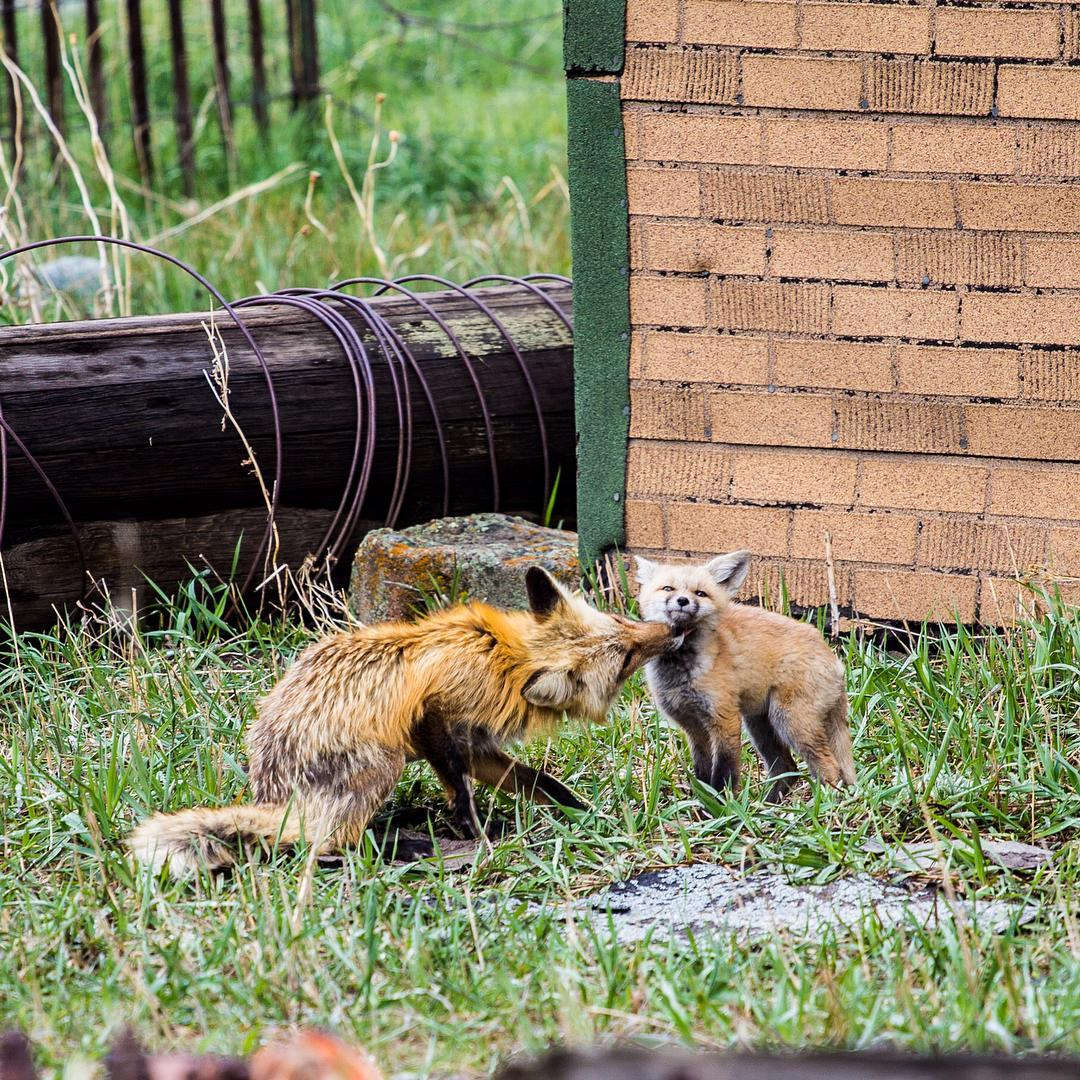 A fox taking care of its pup. Taken on the Main Street of Breckinridge, CO
